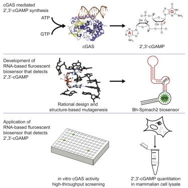 An RNA-Based Fluorescent Biosensor for High-Throughput