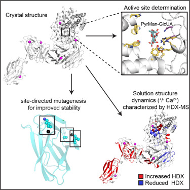 Structure and Dynamics of a Promiscuous Xanthan Lyase from