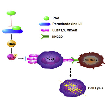 Parvifoline AA Promotes Susceptibility of Hepatocarcinoma to