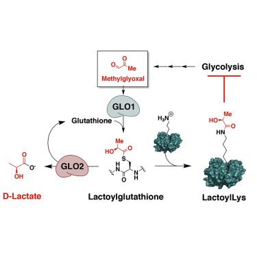 enzymatic diagram of glycolysis non enzymatic lysine lactoylation of glycolytic enzymes  non enzymatic lysine lactoylation of