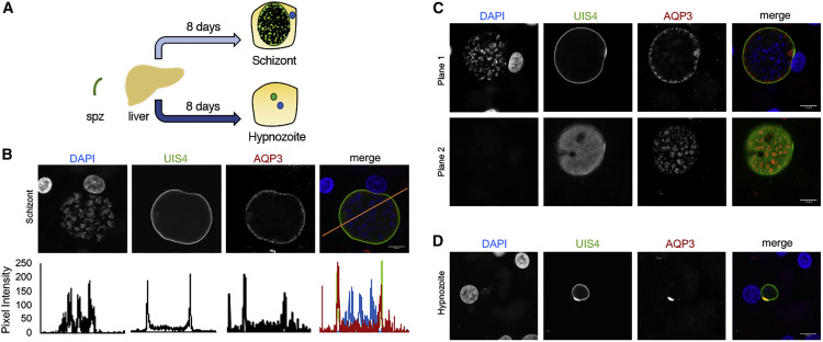 Plasmodium Vivax Liver And Blood Stages Recruit The Druggable Host Membrane Channel Aquaporin 3 Sciencedirect