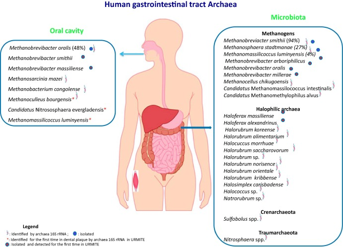 Archaea Essential Inhabitants Of The Human Digestive Microbiota