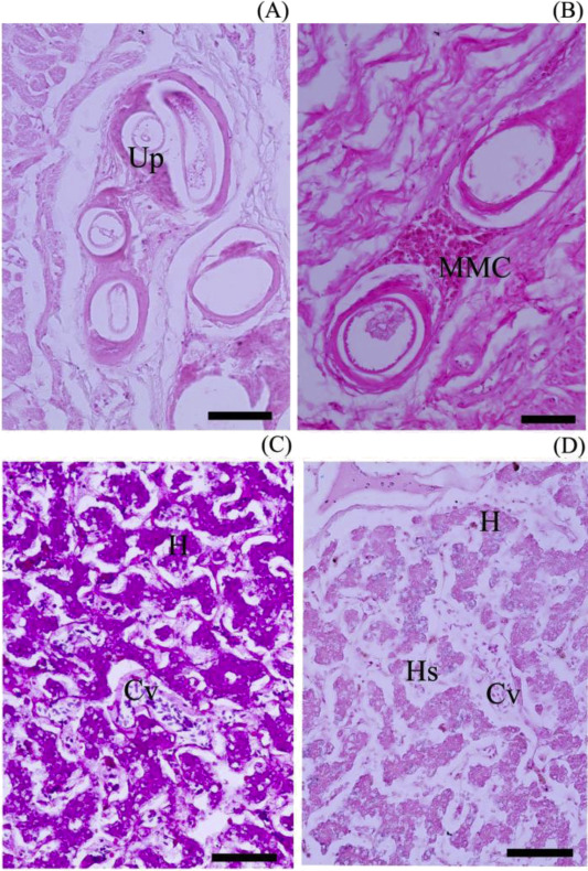 Esophagogastric Region And Liver Tissue In Dog Faced Water Snake