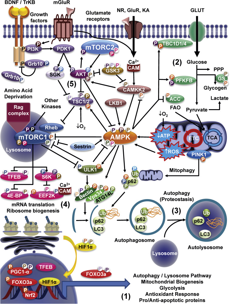 Signaling between organs and tissues: Interdependence points to design 1-s2.0-S2468202017301134-gr1