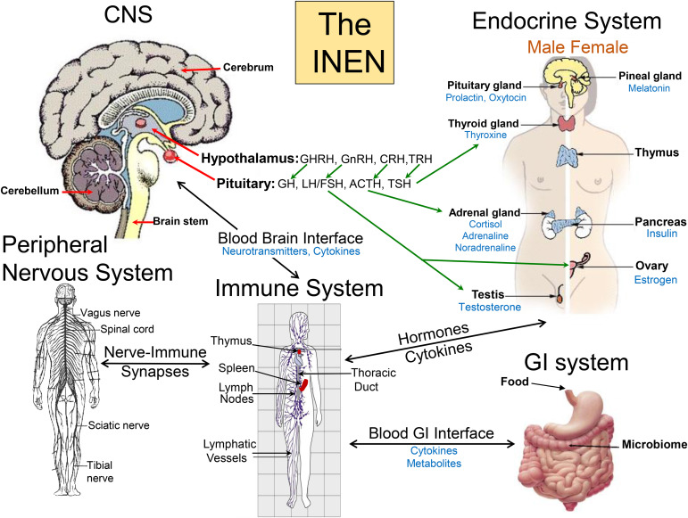 Crosstalk between the immune endocrine and nervous systems in download high res image 1mb ccuart Image collections