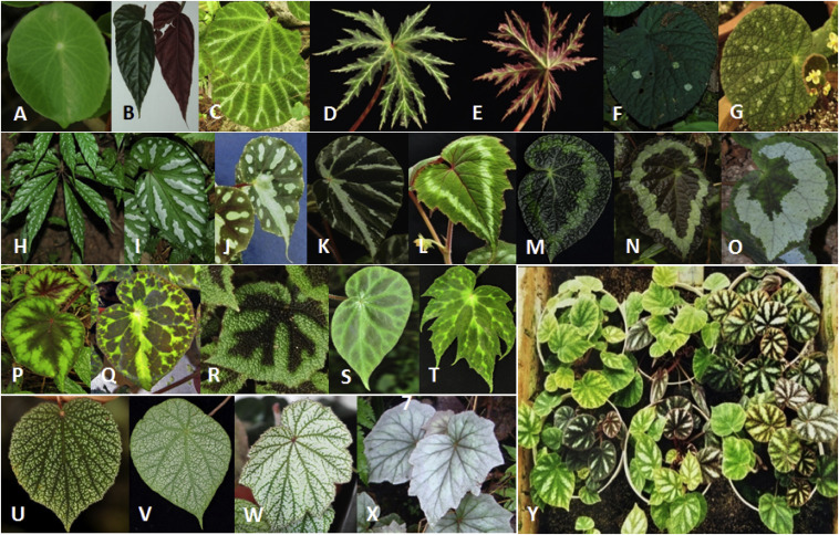 Diversity And Conservation Of Chinese Wild Begonias Sciencedirect