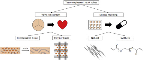 Heart valve tissue engineering for valve replacement and disease modeling -  ScienceDirect