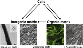 From Bone Regeneration To Three Dimensional In Vitro Models Tissue Engineering Of Organized Bone Extracellular Matrix Sciencedirect