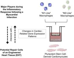 Effects of polarized macrophages on the in vitro gene