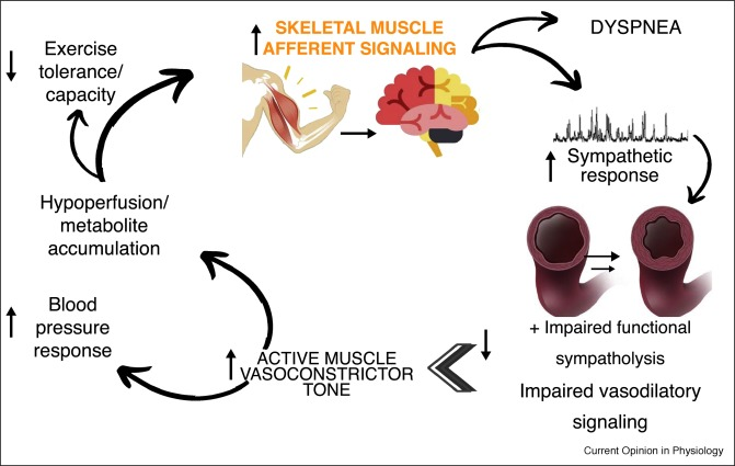 Reflex control of the cardiovascular system during exercise in