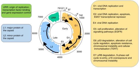Infectie genitala Human Papilloma Virus (HPV) - Ginecologia papiloma virus, Virus hpv diagnostico