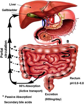 Bile Acids As Global Regulators Of Hepatic Nutrient Metabolism