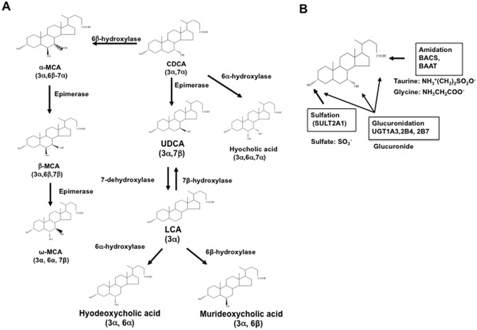 Bile Acid Metabolism And Signaling In Liver Disease And Therapy
