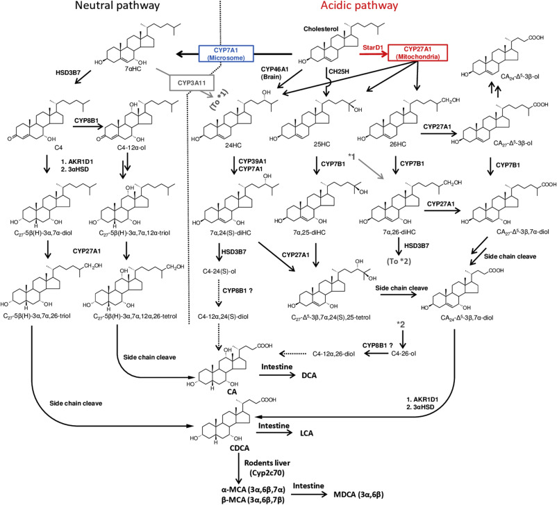 097dee2de0606d ... has developed in the bile acid metabolic pathways. Fig. 1. Download  full-size image