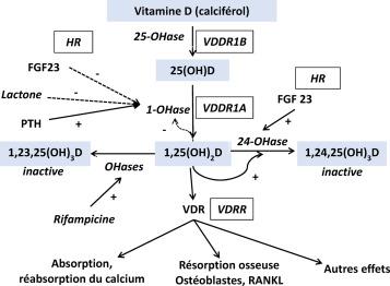 Vitamine D et rachitisme : débats, consensus et utilisation pratique ...