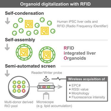 Digitalized Human Organoid for Wireless Phenotyping - ScienceDirect