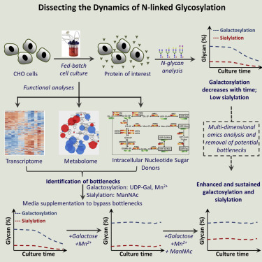 Dissecting N-Glycosylation Dynamics in Chinese Hamster Ovary
