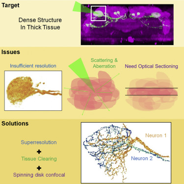 Imaging through the Whole Brain of Drosophila at  /20 Super ...