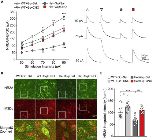 Treatment Restores Sociability In >> Chemogenetic Activation Of Prefrontal Cortex In Shank3
