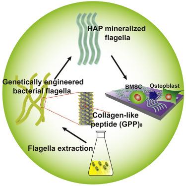 Genetically Engineered Flagella Form Collagen-like Ordered