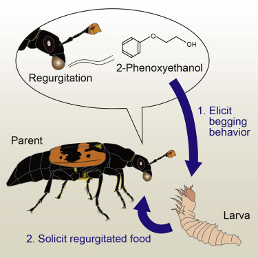 A Parental Volatile Pheromone Triggers Offspring Begging In A