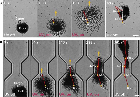 Phototactic Flocking of Photochemical Micromotors