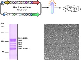 SmartBac, a new baculovirus system for large protein complex