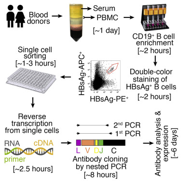 Single Cell Sorting Of Hbsag Binding Memory B Cells From Human Peripheral Blood Mononuclear And Antibody Cloning Sciencedirect