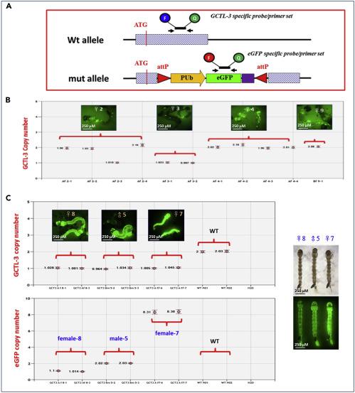 Generating mutant Aedes aegypti mosquitoes using the CRISPR/Cas9 ...