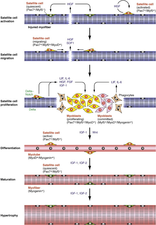 molecular mechanisms of skeletal muscle development, regeneration, Muscles