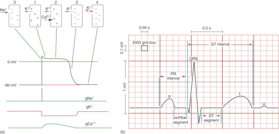 Cardiac Action Potential - an overview | ScienceDirect Topics