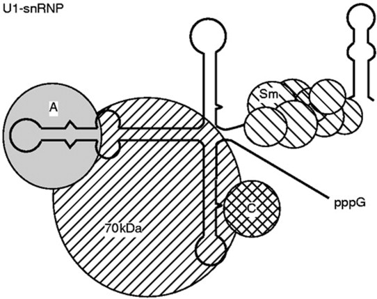 Small Cytoplasmic Rna