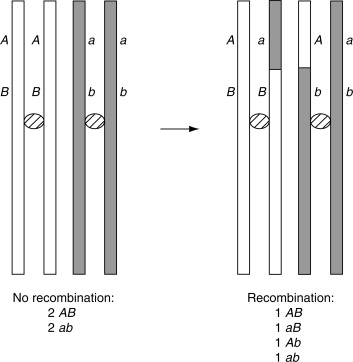Genetic Recombination - an overview | ScienceDirect Topics