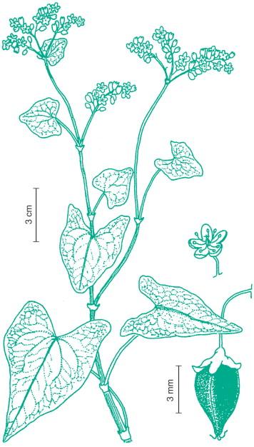 Amaranthus caudatus - an overview | ScienceDirect Topics