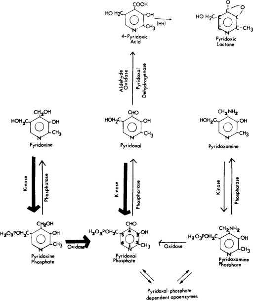 REGULATION AND FUNCTION OF PYRIDOXAL PHOSPHATE IN CNS