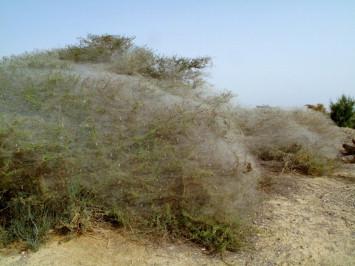 Uloboridae - an overview | ScienceDirect Topics