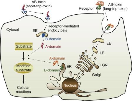 Clostridium difficile – Wikipédia