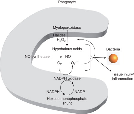 Phagocyte - an overview   ScienceDirect TopicsScienceDirect.com