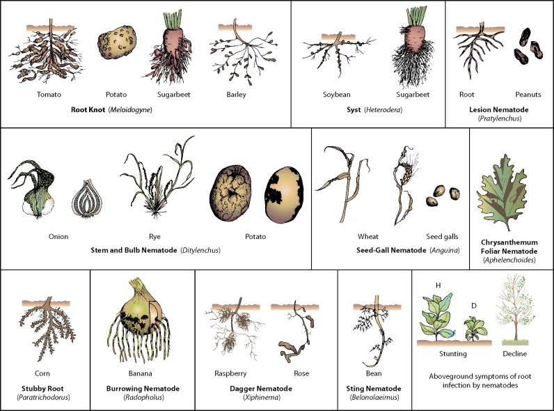 Helminth nematode worms. Ciclul existenței