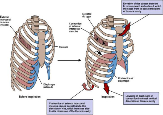 Accessory Muscle - an overview | ScienceDirect Topics