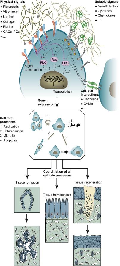 Collagen Metabolism - an overview | ScienceDirect Topics