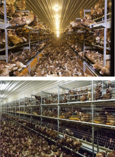 Overview of commercial poultry production systems and their main