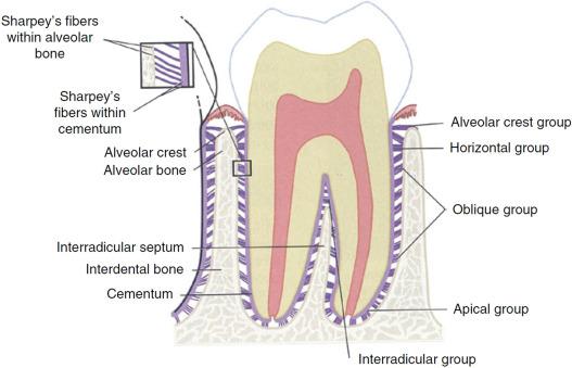 Layered scaffolds for periodontal regeneration - ScienceDirect