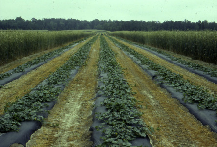 Plastic Mulch - an overview | ScienceDirect Topics