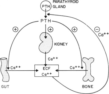 parathyroid hormone and parathyroid hormone related peptide in Parathyroid Calcium Vitamin D download full size image