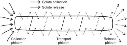 the solute most abundant in phloem sap is _____