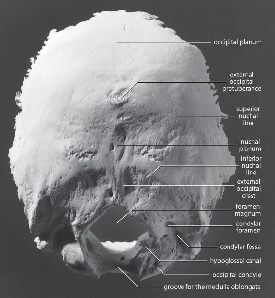 the foramen magnum is found in the ________ bone