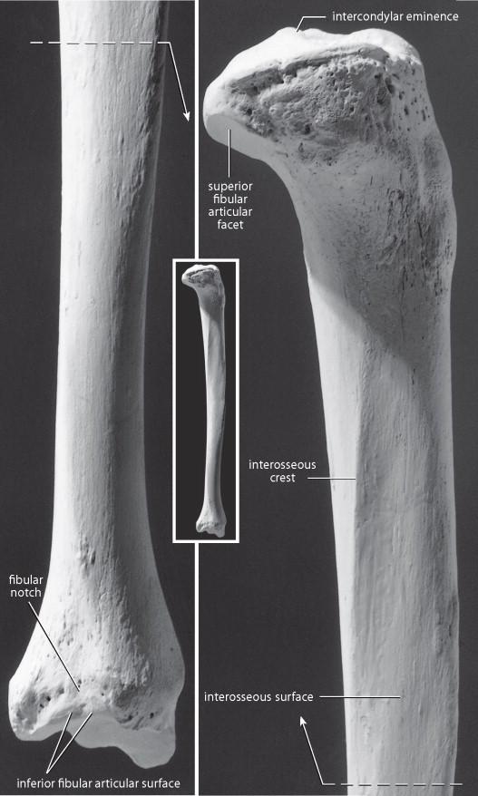 anterior crest of tibia