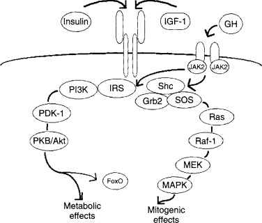 Rodent Models For The Study Of The Role Of Growth Hormoneinsulin