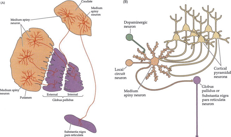 Lateral Globus Pallidus An Overview Sciencedirect Topics